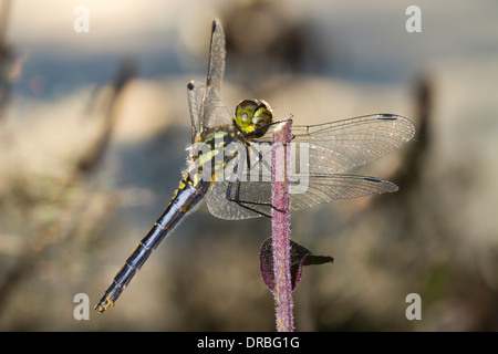 Black Darter Dragonfly (Sympetrum danae) mature adult female perched on a stalk. Powys, Wales. August. - Stock Photo