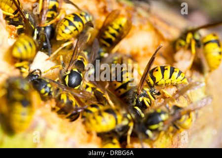 Common wasp workers (Vespula vulgaris) feeding on a fallen pear in a garden. Carmarthenshire, Wales. September. - Stock Photo