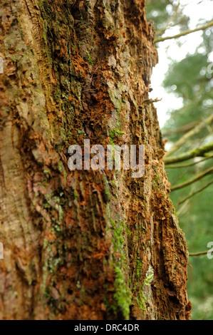 Wellingtonia Trunk / Bark, Sequoiadendron giganteum - Stock Photo