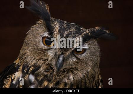 Portrait of Long-Eared Owl (Asio otus) Stock Photo