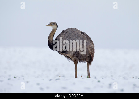 Greater Rhea / ñandú (Rhea americana) male in the snow in winter, flightless bird native to eastern South America - Stock Photo