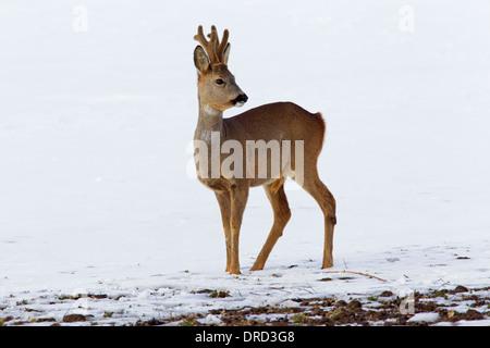 Roe deer (Capreolus capreolus) buck in the snow in winter - Stock Photo
