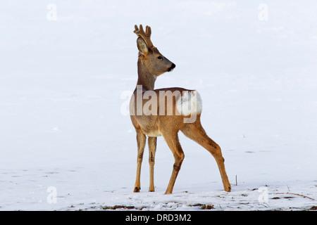 Ree (Capreolus capreolus), reebok in de sneeuw in winter Roe deer (Capreolus capreolus) buck in the snow in winter - Stock Photo