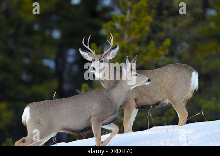 Mule deer a buck and a doe interacting with each other