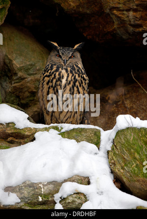 Great or Northern Eagle Owl (Bubo bubo) nesting in a hollow in the rocks. - Stock Photo