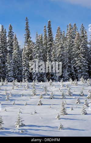 Spruce trees in various sizes covered with fresh snow. - Stock Photo
