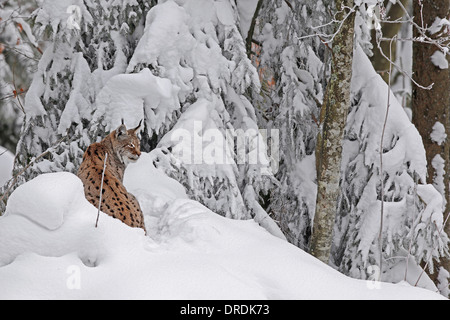 Eurasian Lynx in a snowy forest - Stock Photo
