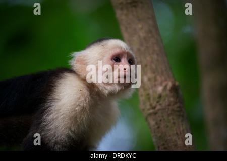 Head Shot of a Capuchin - Stock Photo