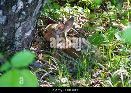 Capreolus capreolus fawn Rehkitz Kitz young roe deer - Stock Photo