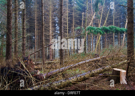 Fallen fir trees and tree stumps after a heavy storm in autumn. - Stock Photo