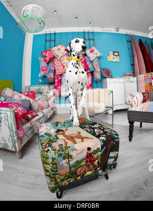 A Dalmatian dog (Canis lupus familiaris) in an interior decorating shop.  Chien dalmatien dans un magasin de décoration. - Stock Photo