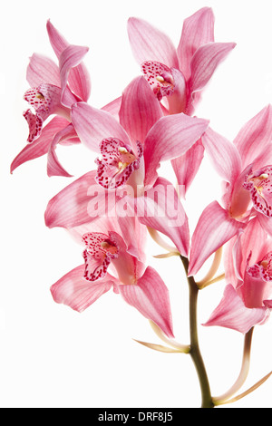 Maryland USA Pink orchid flowers on flowering stalk - Stock Photo