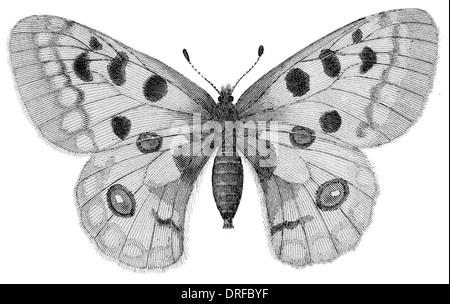 Apollo or Mountain Apollo Parnassius apollo, is a butterfly of the Papilionidae family. - Stock Photo