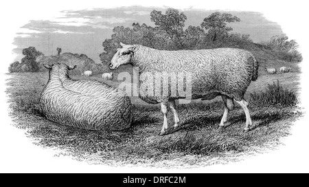 Leicester Ram circa 1880 - Stock Photo