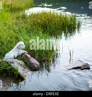 Platinum colored Golden Retriever puppy (11 weeks) considering a dusk swim in Lake O'Haver, Colorado Rocky Mountains, - Stock Photo