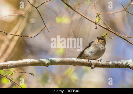 Chaffinch sitting on a branch in spring forest - Stock Photo