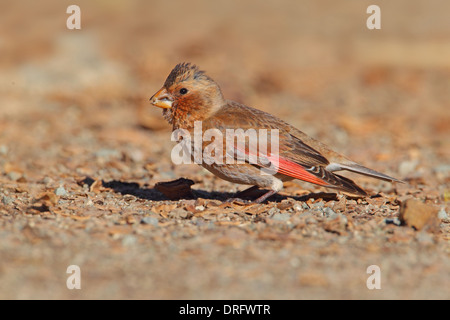 Crimson-winged Finch (Rhodopechys sanguinea aliena) North African subspecies, adult male, Morocco, March - Stock Photo