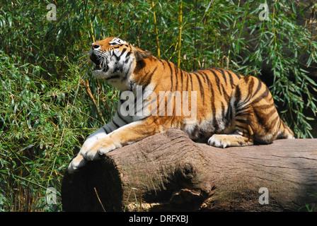 Tiger on tree trunk - Stock Photo