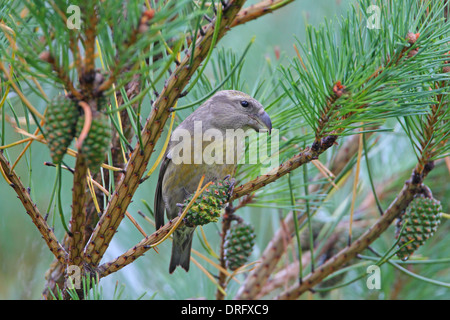 Female Parrot Crossbill Loxia pytyopsittacus feeding on pine cones in Essex, UK - Stock Photo