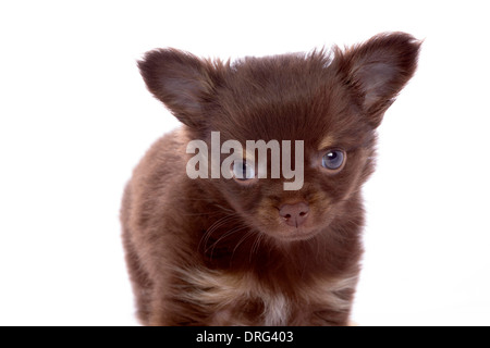 chihuahua in studio isolated - Stock Photo