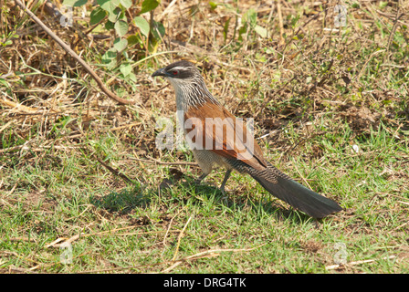 White-browed coucal (Centropus superciliosus) foraging on the ground - Stock Photo