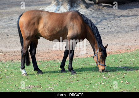 Horse on the lawn eating green grass. - Stock Photo
