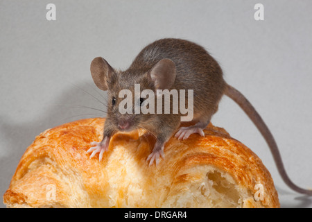 House Mouse (Mus musculus). - Stock Photo