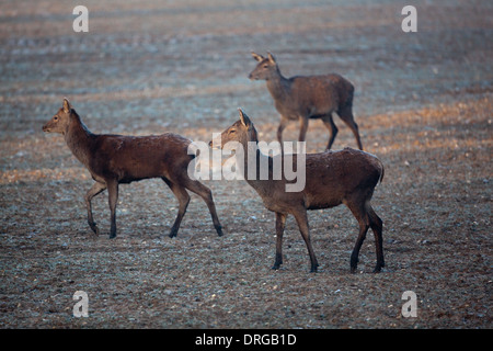 Red Deer (Cervus elaphus). Hungry hinds and a grown immature calf, left, searching for food in the extreme cold - Stock Photo