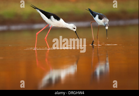 male (Left) and female (right) Black-winged Stilt (Himantopus himantopus) wading in water Photographed in Israel - Stock Photo