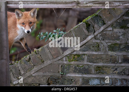 Framed urban fox, London - Stock Photo