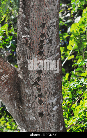 Proboscis bats, Rhynconycteris naso, in typical roosting formation on a tree trunk in Costa Rica - Stock Photo