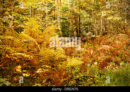 Dense forest underbrush with ferns and other bushes, dramatic yellow fall color nature background - Stock Photo
