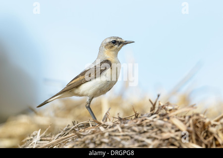 Steinschmaetzer, Oenanthe oenanthe, Northern Wheatear - Stock Photo