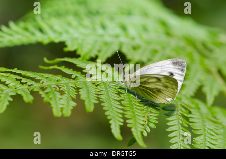 A butterfly (possible a Small White) on Bracken in Scotland - Stock Photo