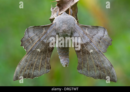 Poplar Hawk-Moth (Laothoe populi) resting on dry leaf Preston Montford Shrewsbury Shropshire England - Stock Photo