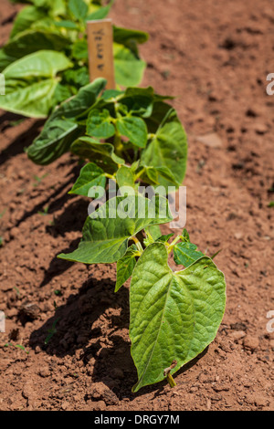 Young bean plants in the home vegetable garden or farm. - Stock Photo