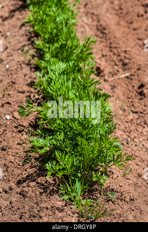 Young carrot plants in the home garden or on the farm. - Stock Photo