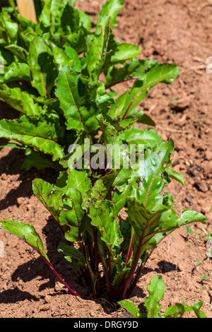 Young beet plants in the home garden or on the farm. - Stock Photo