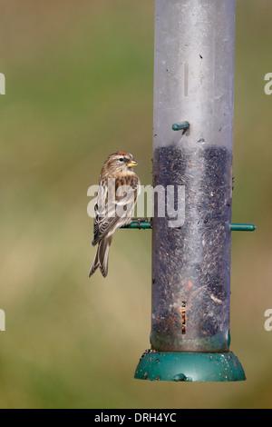 Lesser redpoll, Carduelis cabaret, single bird on feeder, Warwickshire, January 2014 - Stock Photo