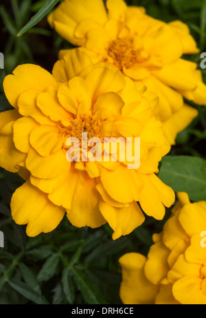 French marigold (Tagetes patula)  a species in the daisy family (Asteraceae).