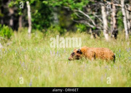 Wild brown bear in a mountain field, Waterton National Park Alberta Canada - Stock Photo