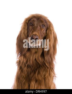 Irish setter dog looking sad head shot isolated on white - Stock Photo