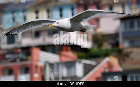 Herring Gull - Larus argentatus Flying past harbor building Brixham, Devon - Stock Photo