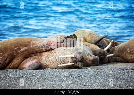 Walrosse, odobenus rosmarus / walruses, odobenus rosmarus