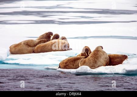 Walrosse auf Treibeis, odobenus rosmarus / walruses on drift ice, odobenus rosmarus
