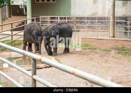 Two young elephants at Pinnawela Elephant Orphanage, Sri Lanka - Stock Photo