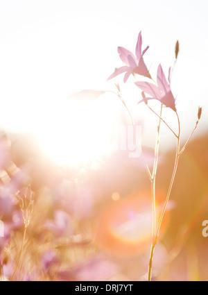 Fieldflower in backlighting,Dalarna,Sweden - Stock Photo