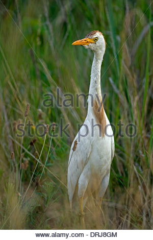 Cattle Egret (Bubulcus ibis) portrait in wetland - Stock Photo