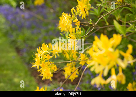 Yellow azalea flowers, rhododendron luteum - Stock Photo