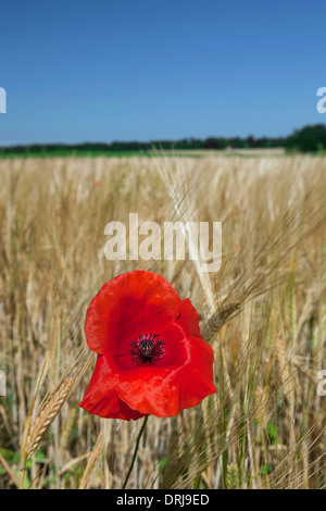 Rural landscape showing red common poppy / field poppies (Papaver rhoeas) flowering in cornfield on farmland in - Stock Photo